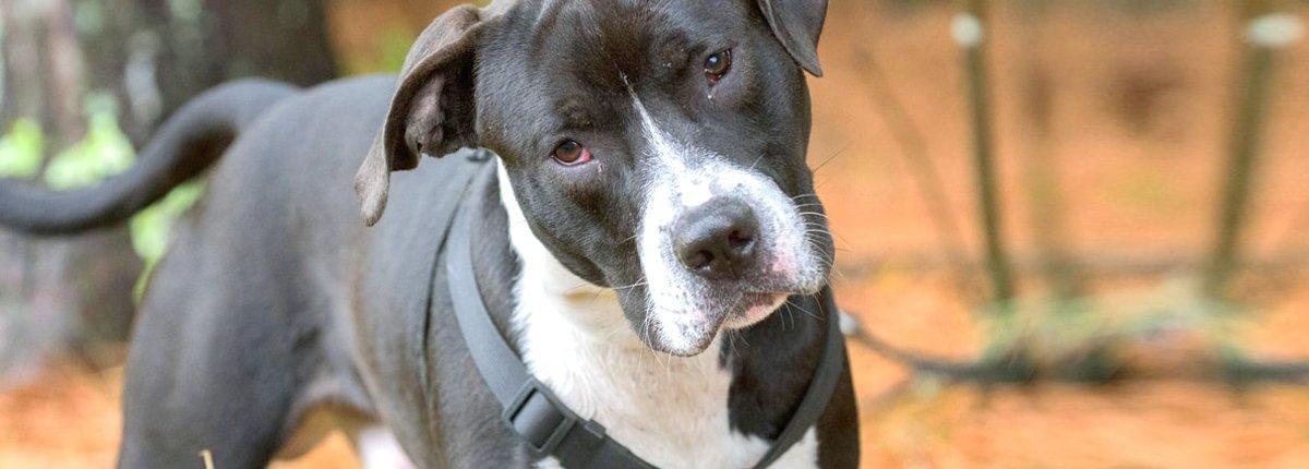 Pitbull Dog With Harness Cute Head Tilt