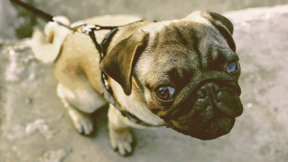 A Pug dog looking at you with soft eyes