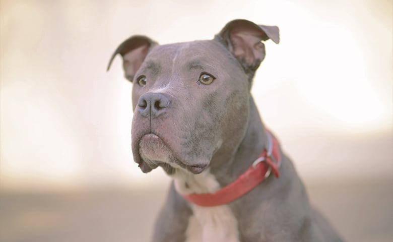 A pitbull dog staring
