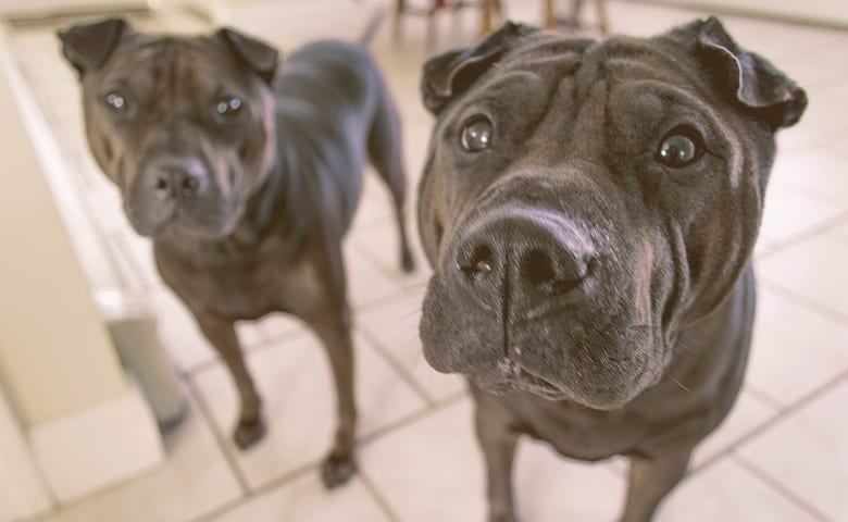 Two Pitbull dog looking