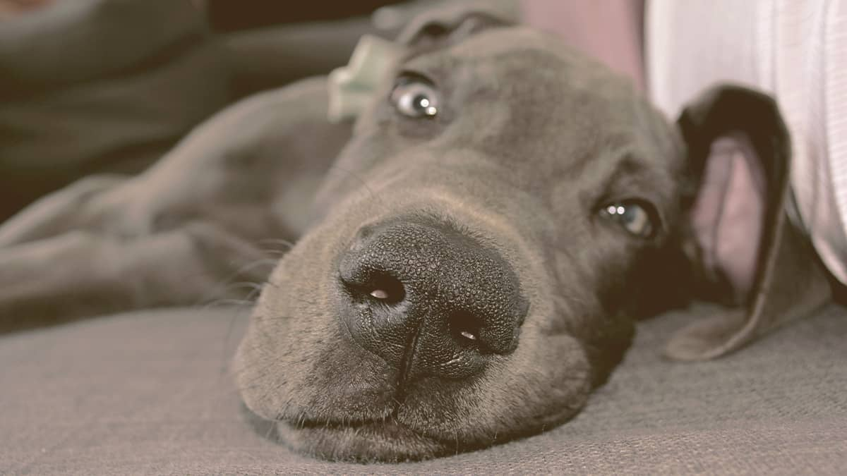 Great Dane lying down with a funny face