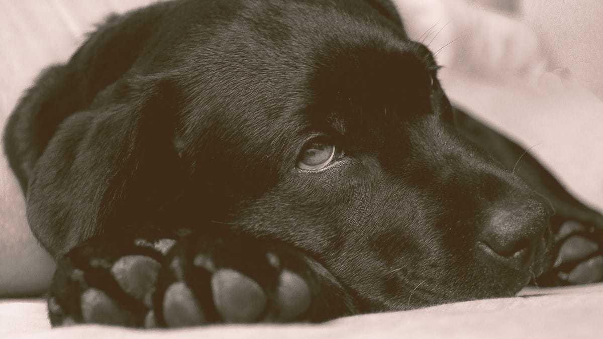 Labrador dog laying dog looking sick