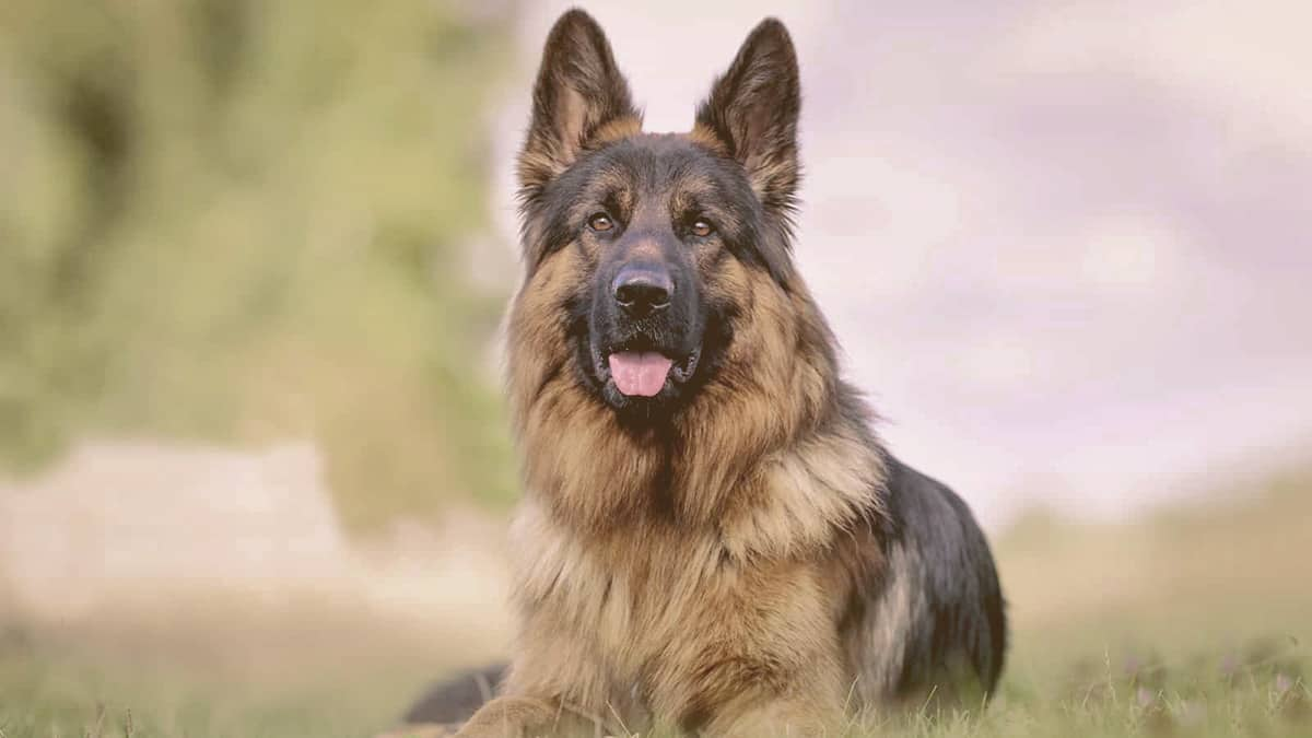 German Shepherd looking with attention