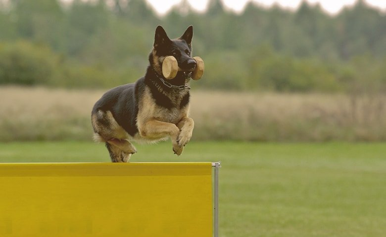 German Shepherd Dog jumping an obstacle