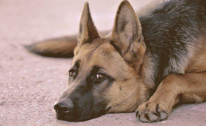 German Shepherd Dog looking laying down on alert