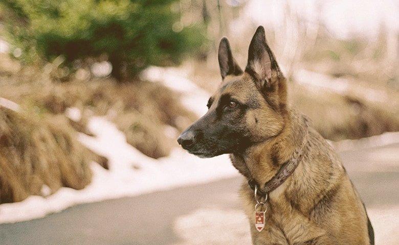 German Shepherd Dog on alert