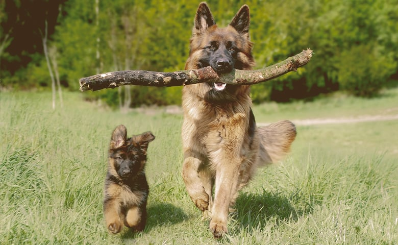 German Shepherd puupy and dog running in a field