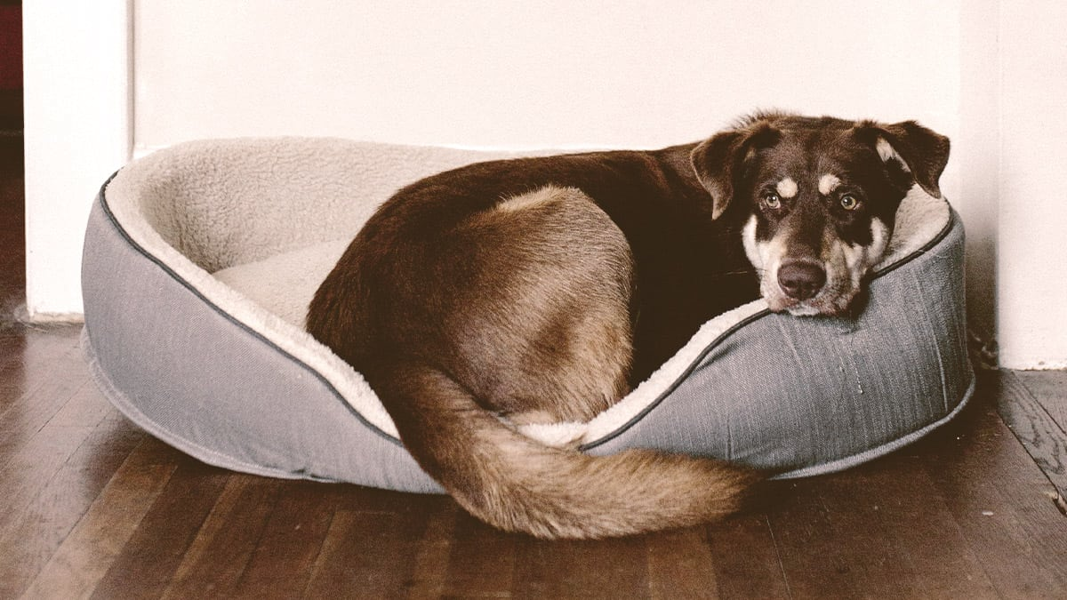 old Dog laying on a bed looking back