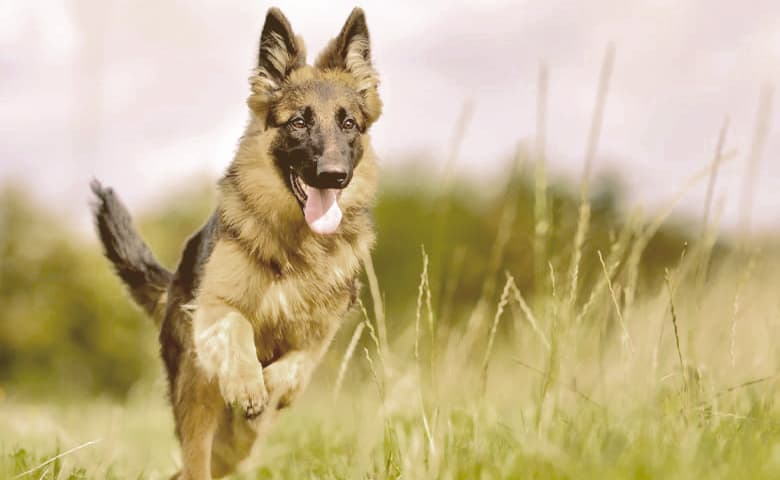 Young German Shepherd Dog jumping in a field