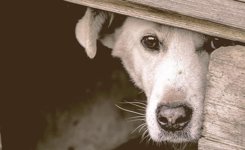 dog hides behind a board