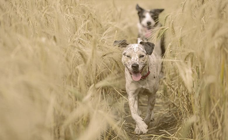 dogs running on a wheat field