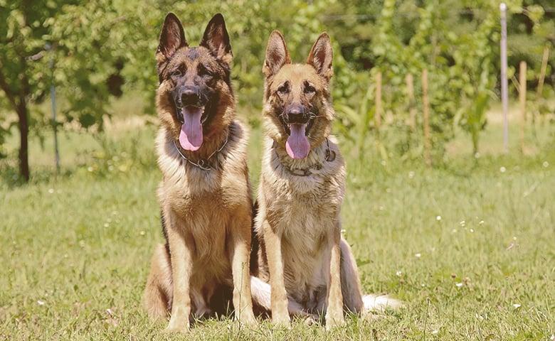 two German Shepherd Dog on alert sitting in a field