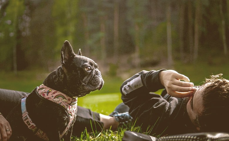 French Bulldog laying with people