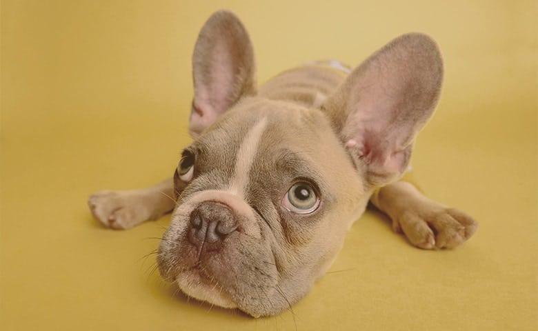 French Bulldog looking up