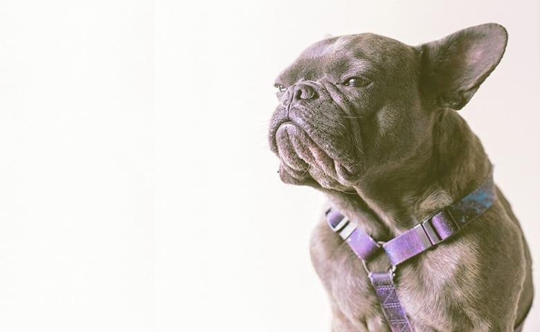 French Bulldog not feelling happy