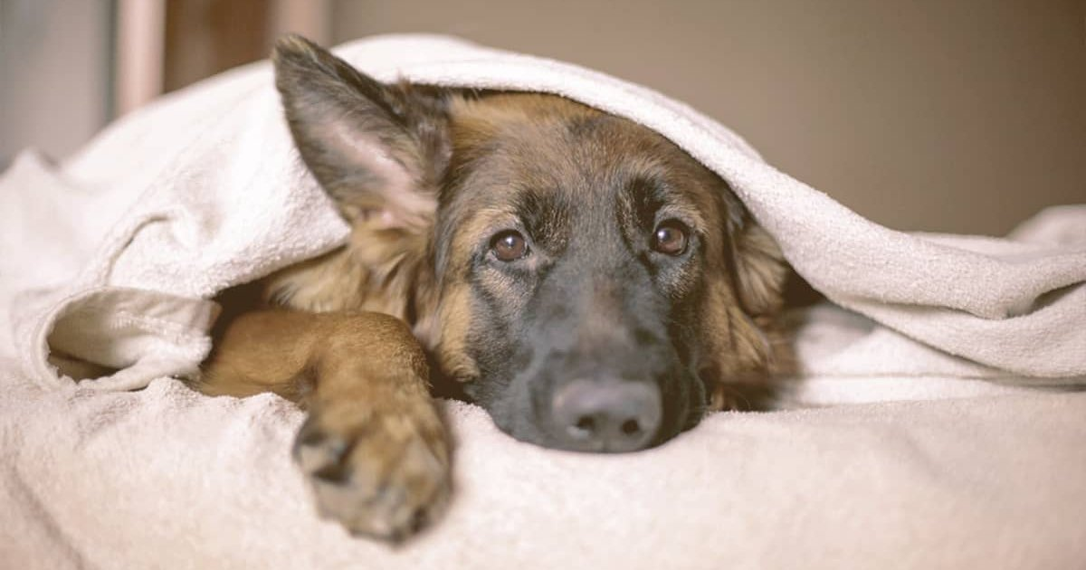 german shepherd laying down covered with a blanket