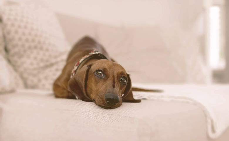 adult brown dachshund laying in the sofa