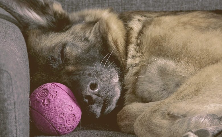 german shepherd sleeping with toy