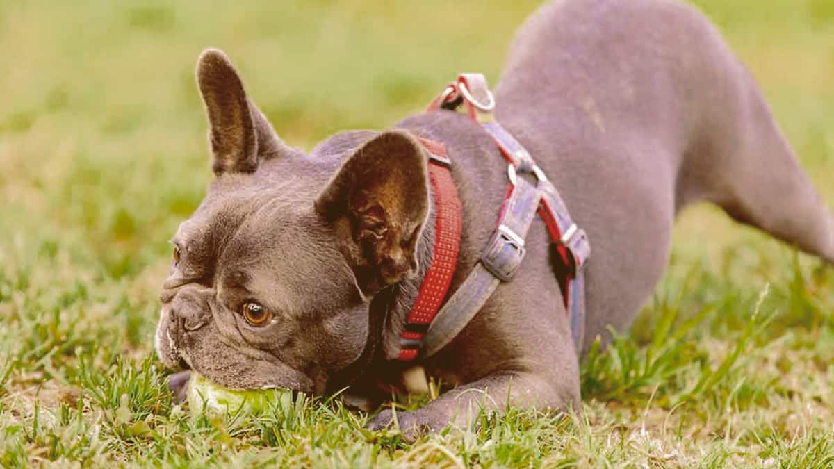 A French Bulldog chewing a ball