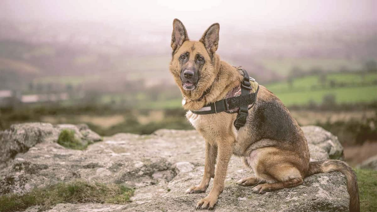 german shepherd sitting on a rock looking