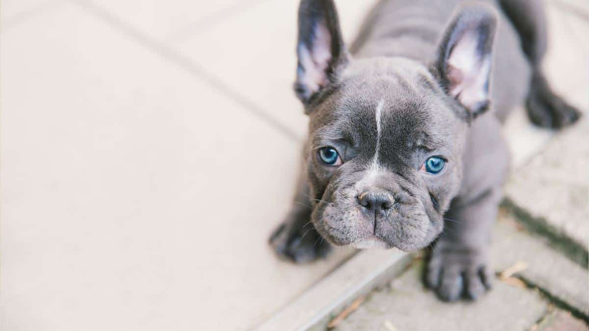 Blue French Bulldog Puppy looking up