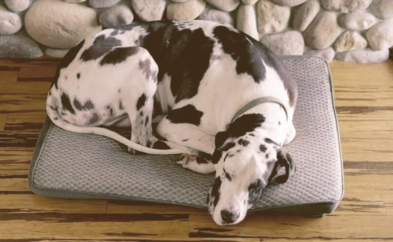 Great Dane laying on bed