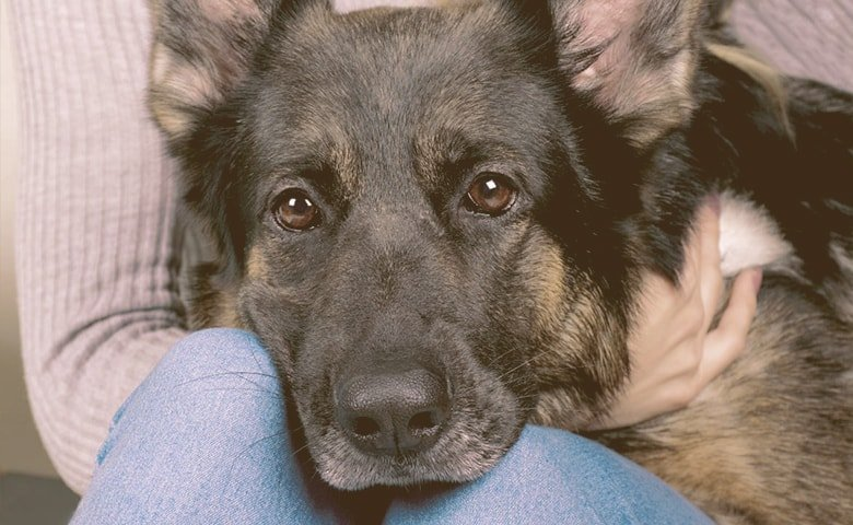 german shepherd head on the lap of a person