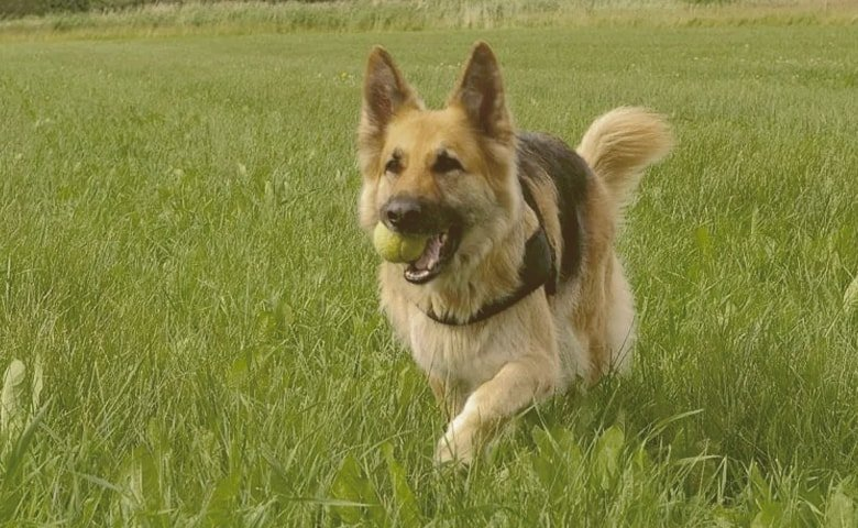 german shepherd running on the grass with a ball on his mouth
