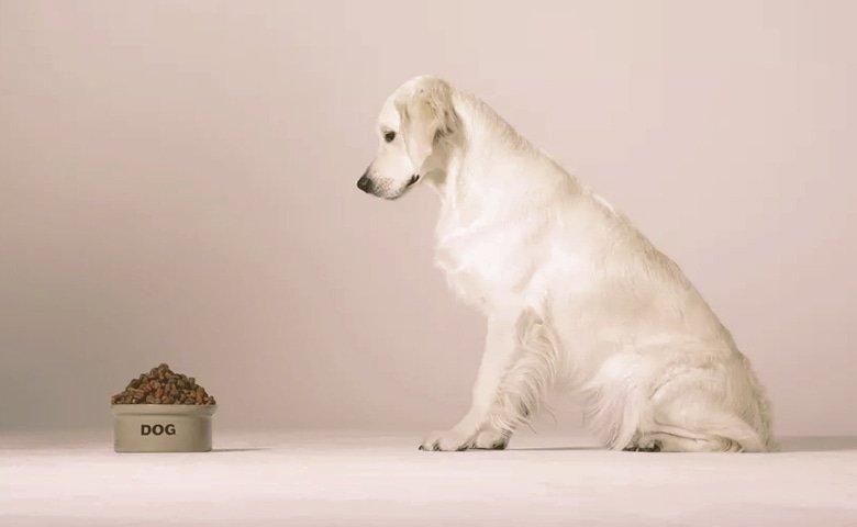 golden retriever looking at bowl