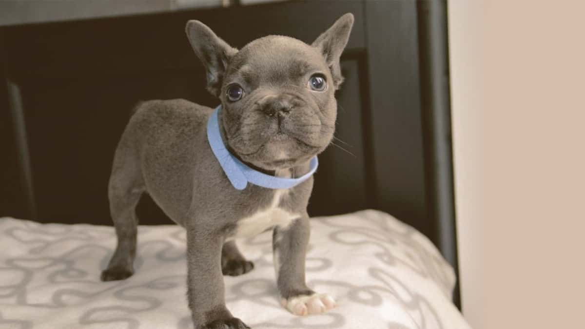 French Bulldog puppy on a beb looking up