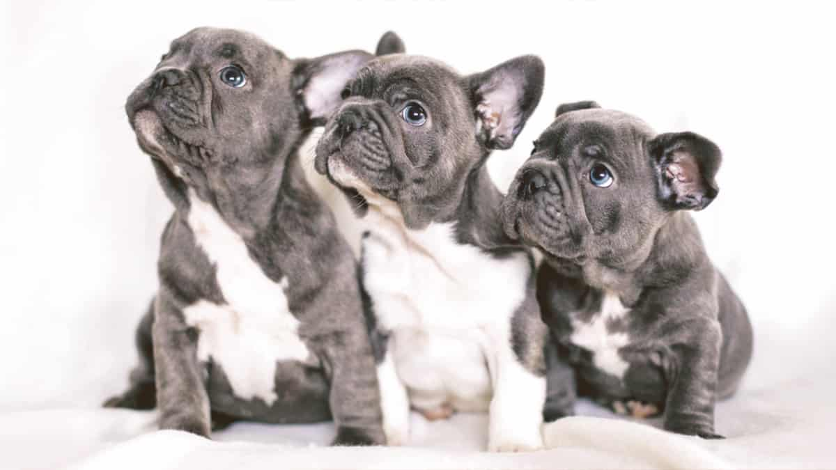 Blue French Bulldog puppies looking up