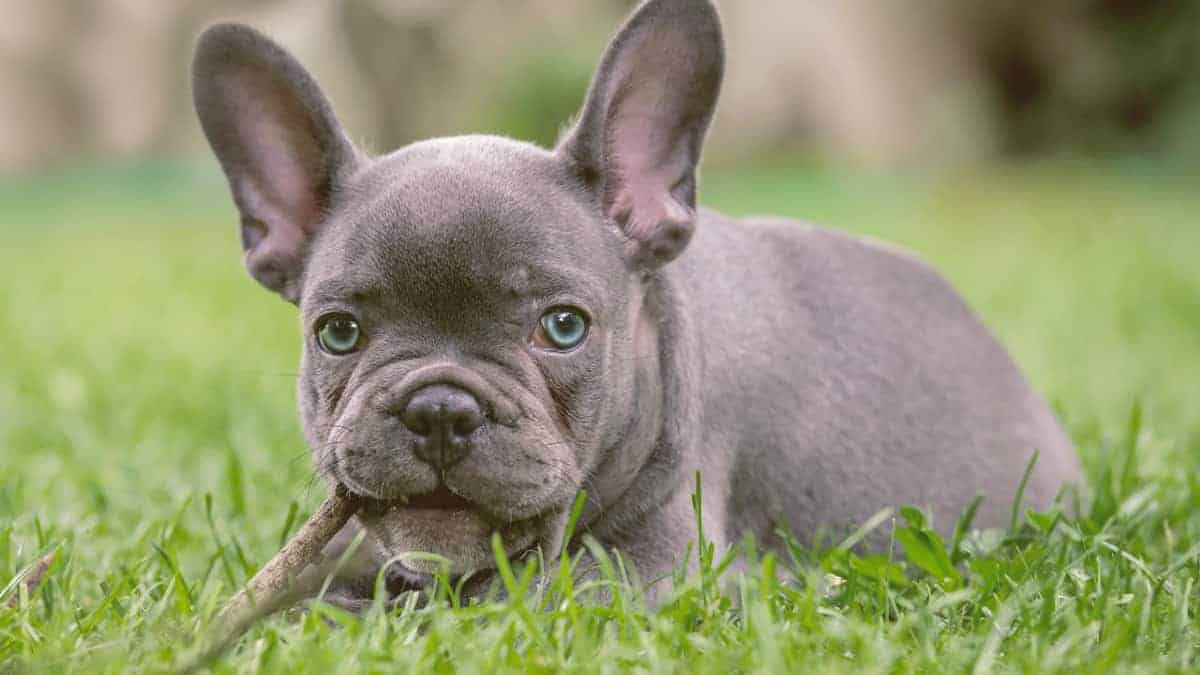 French Bulldog Grey With Blue Eyes on the grass