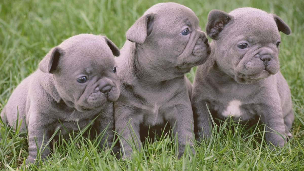 Blue French Bulldog puppies on the grass
