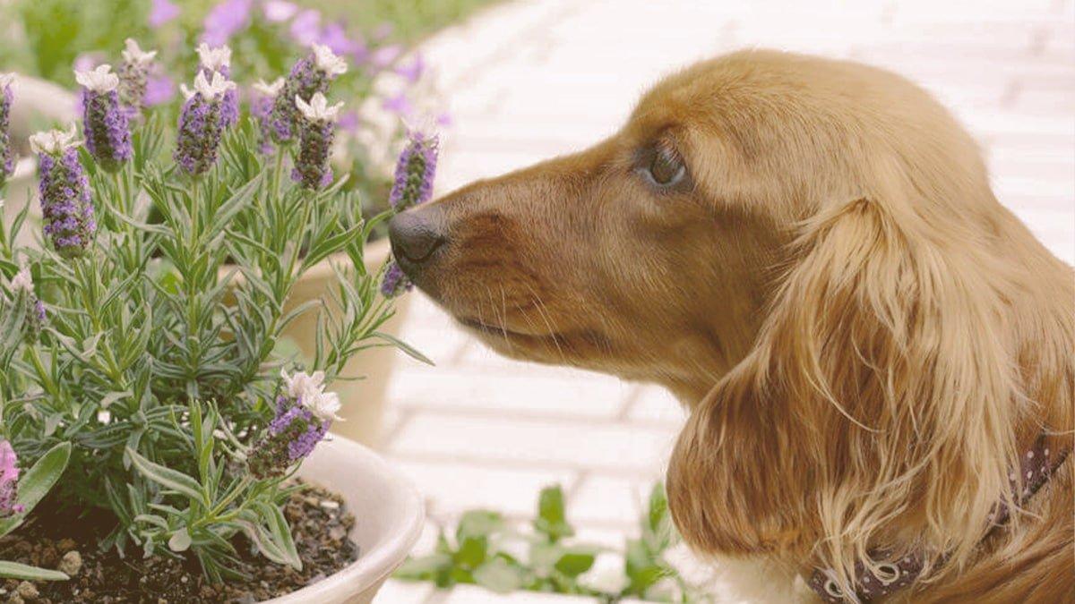 dog smelling lavender