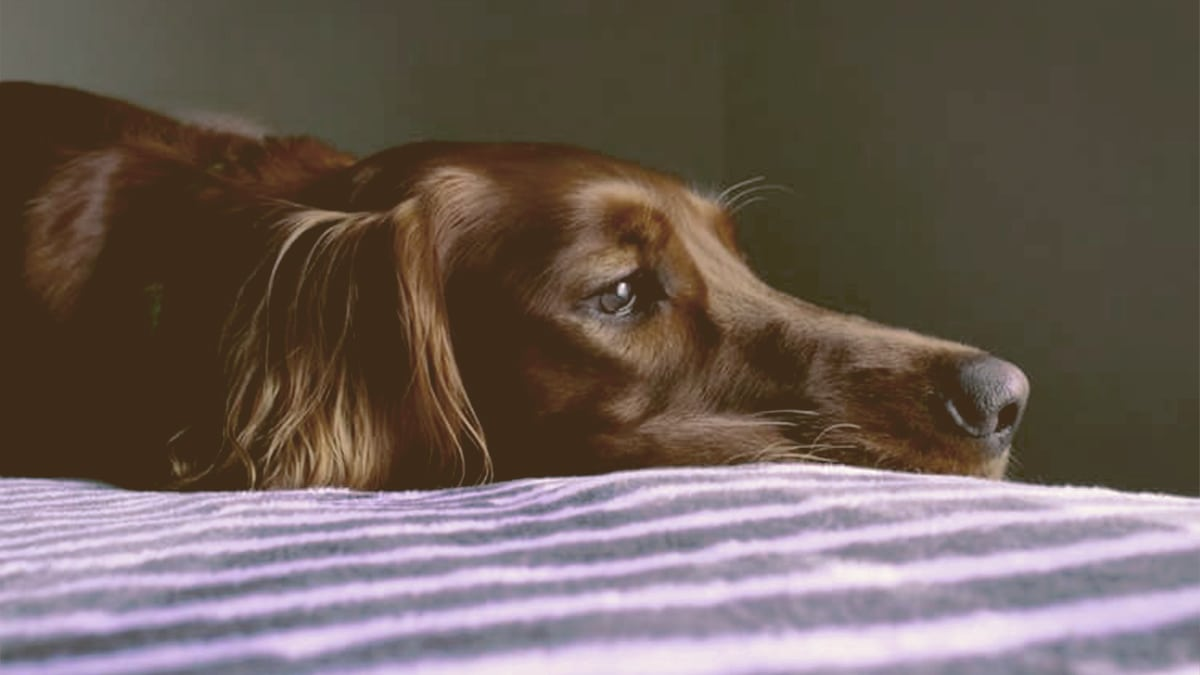 sad dog laying on the bed