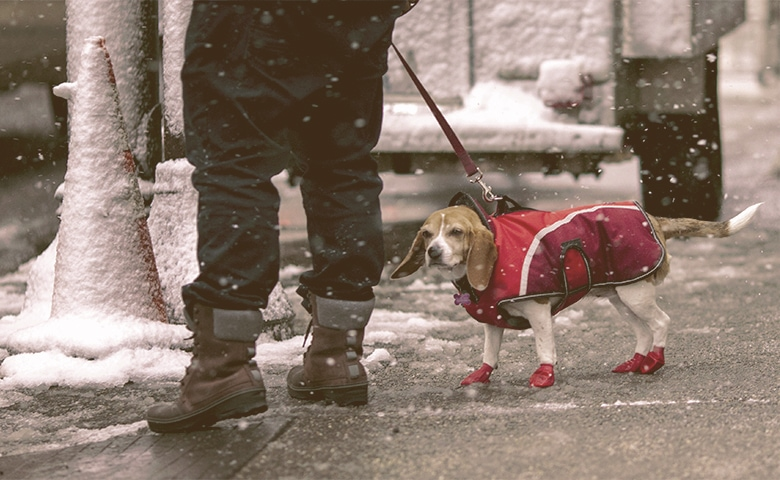 Dog walking on the cold weather