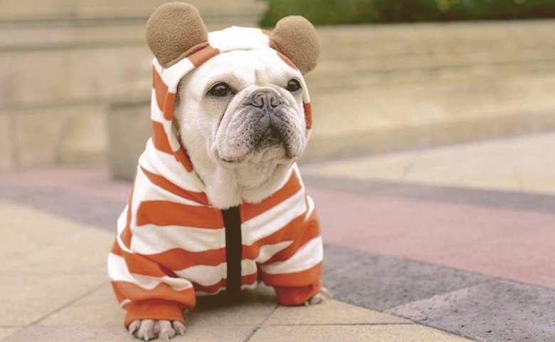 Frenchie with Hoodies