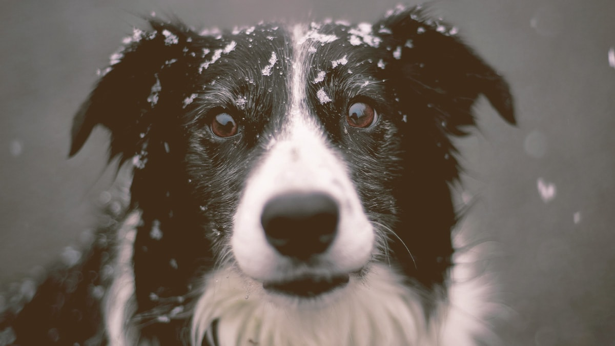 dog looking with snow on the head