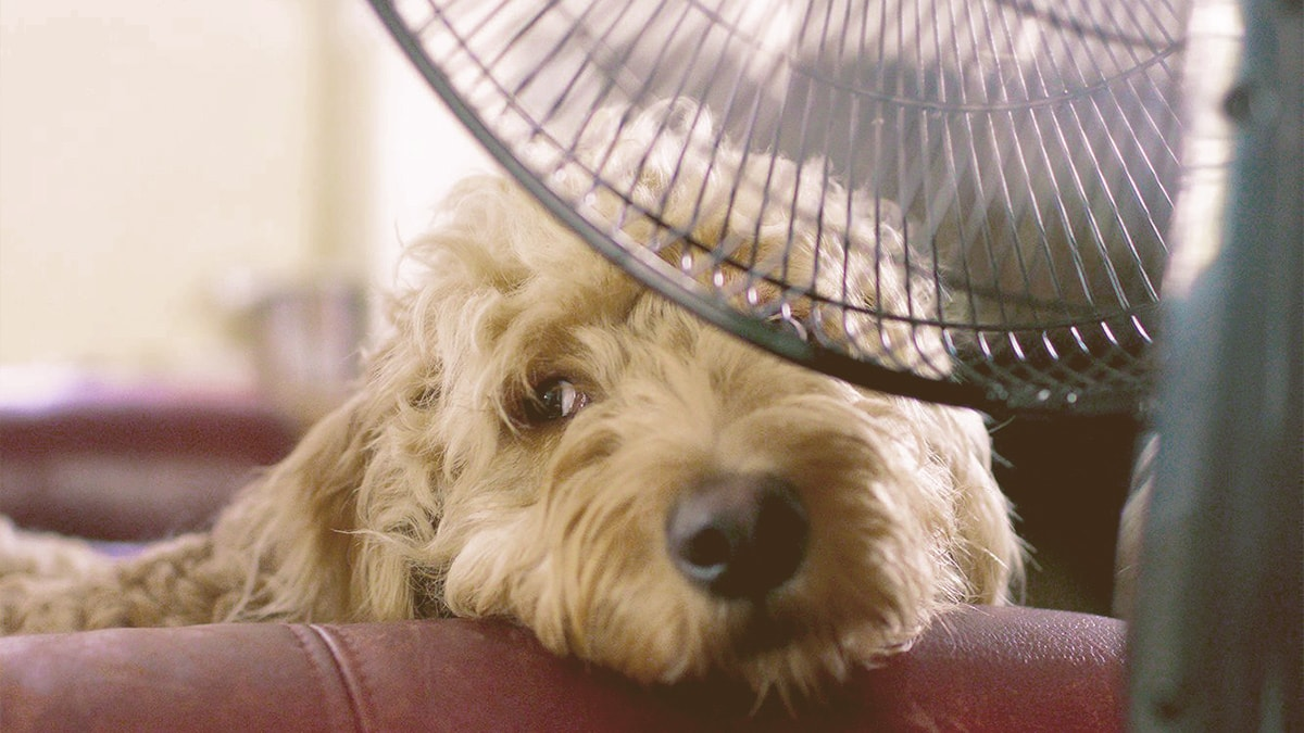 dog cooling in front a fan