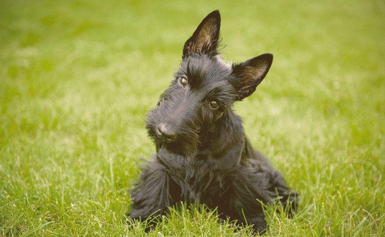 Scottish Terriers on the grass looking funny