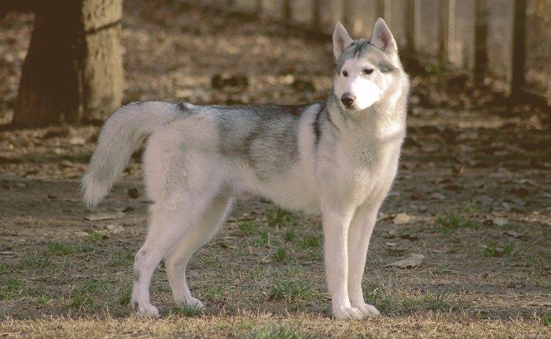 Siberian Huskies on the hoods