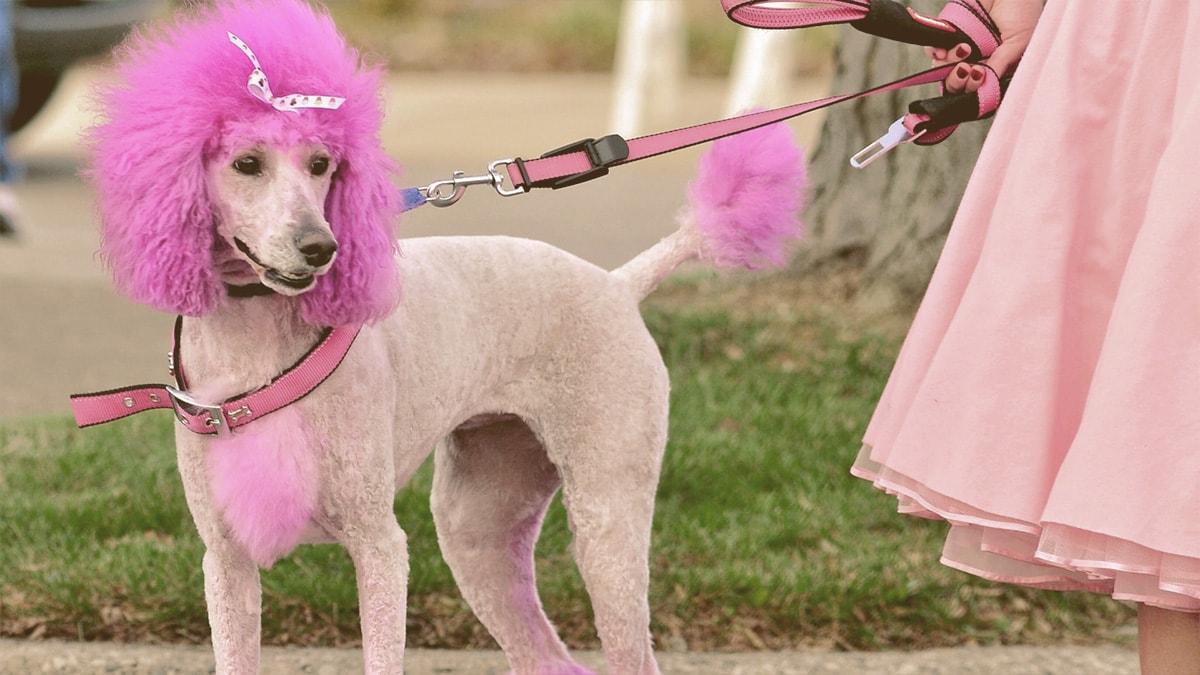dog dyed princess pink