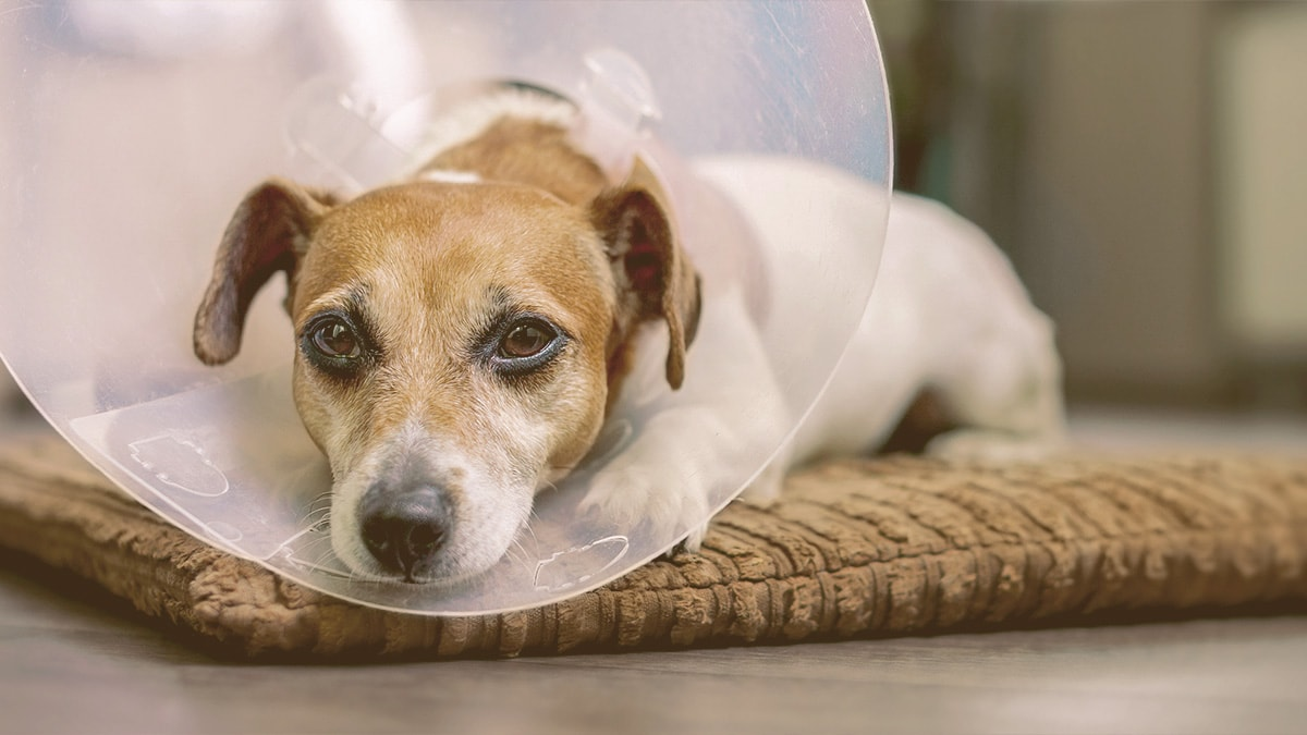 dog with cone on resting