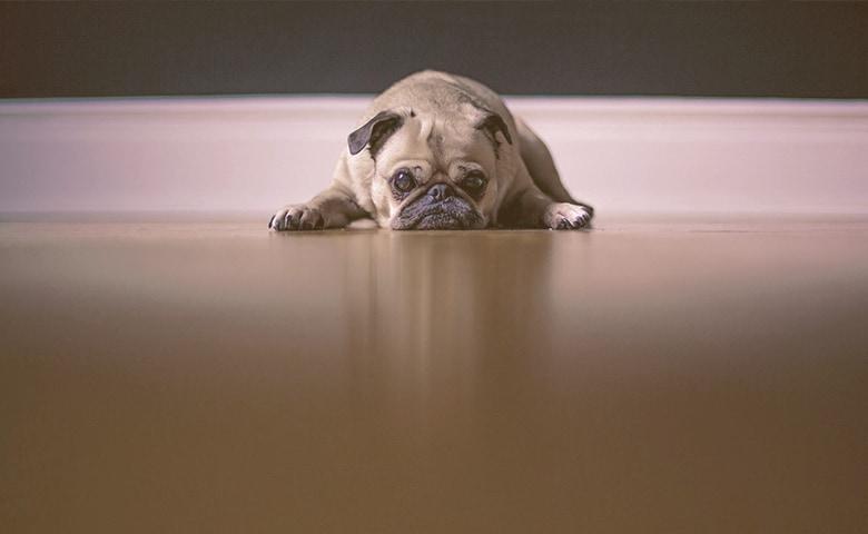 bulldog laying on the floor