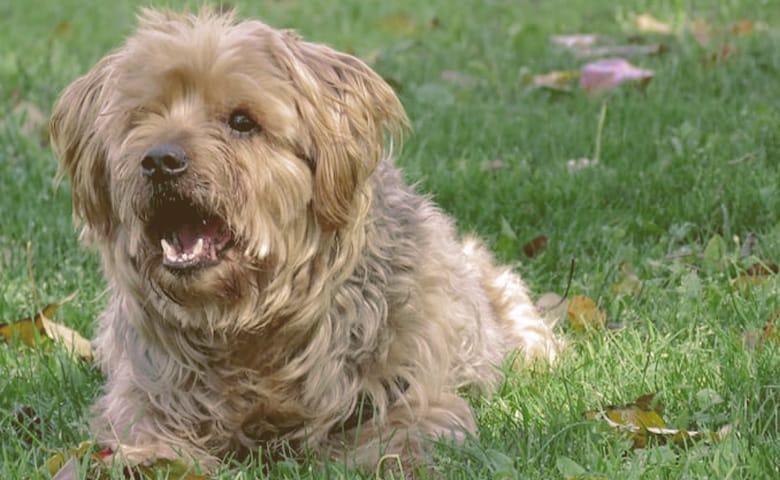 dog barking on the grass