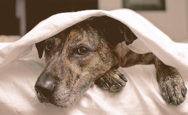 dog beneath under a sheet