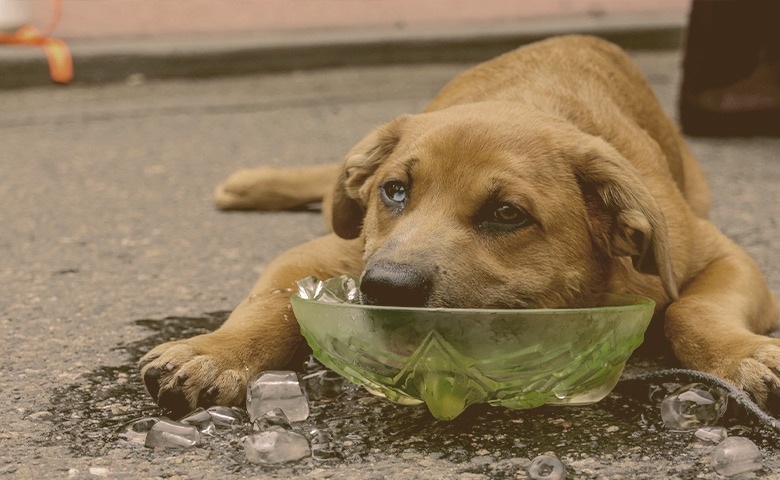 dog cooling down with face on a ice cubes bowl