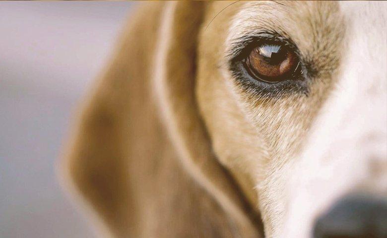 dog eye detail