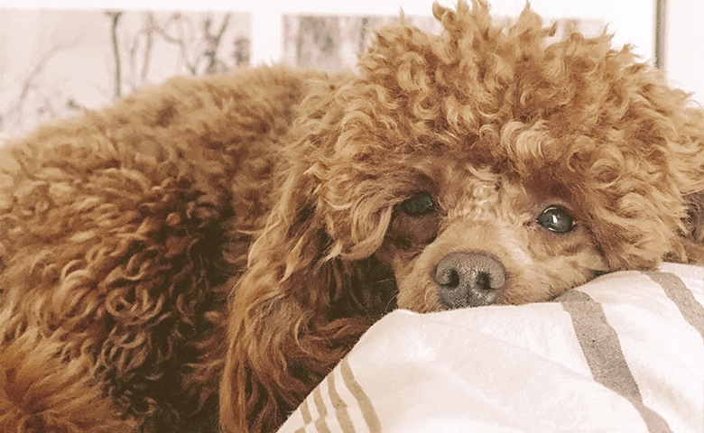 dog laying on a pillow