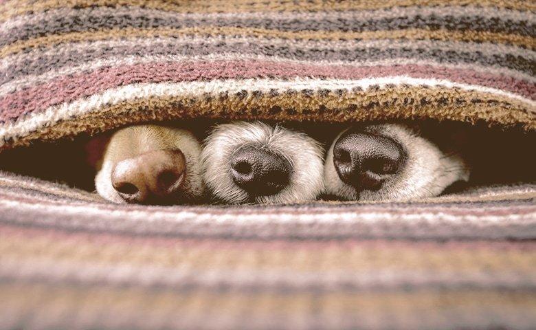 dog noses under blanket